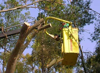 Poda y trasplante de árboles en Málaga